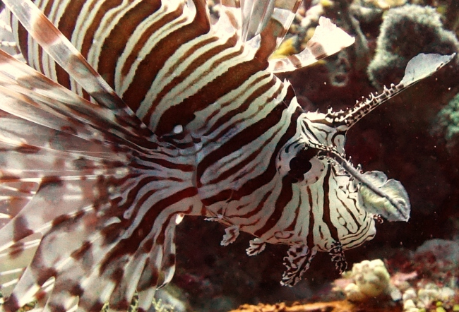 Lionfish - Indonesien -